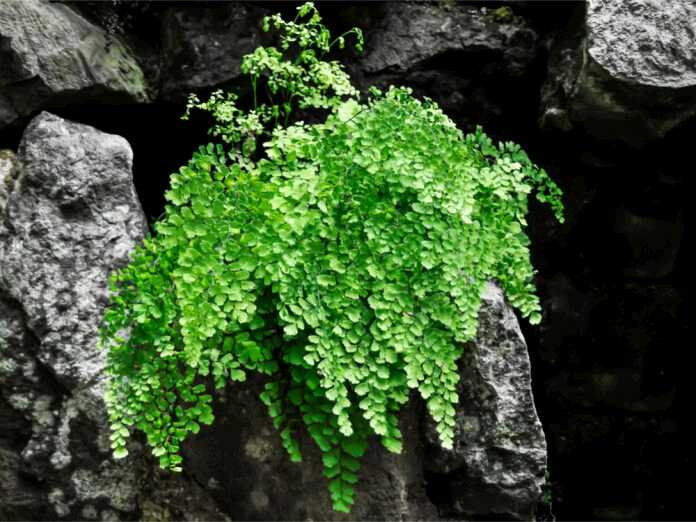 maidenhair fern for hair loss