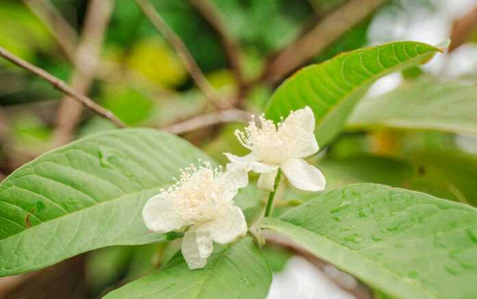 Guava leaves-3